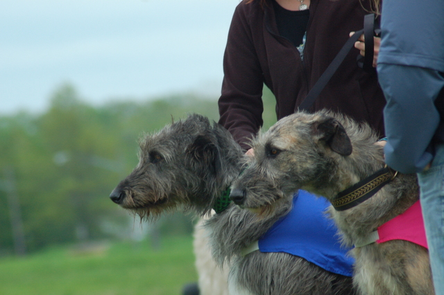 Irish Wolfhounds lure coursing.